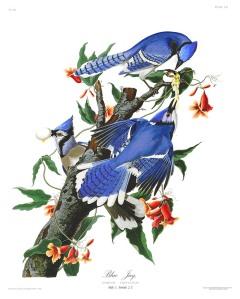 AUD028 John Audubon Plate 102 Blue Jay